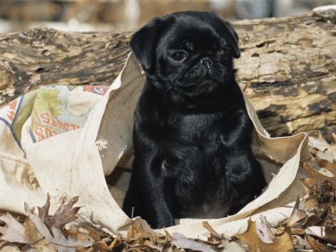 Pug Puppy in Sack....Adorable!!!