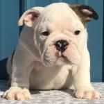 English Bulldog Puppies for Sale - Available Puppies