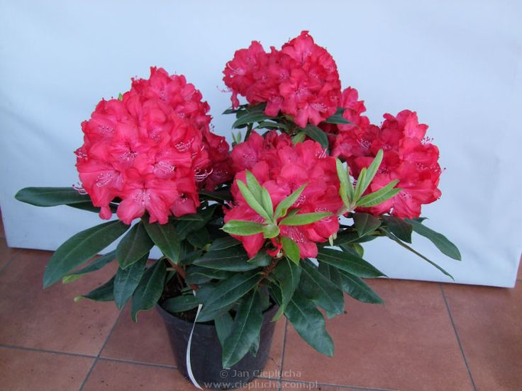 Władysław Jagiełło Kwiaty czerwone, zebrane w duże, efektowne kwiatostany.