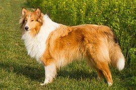 Collie, Hond, Huisdier, Dierlijke