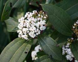 Viburnum davidii ... (Viburno chino - arbusto)