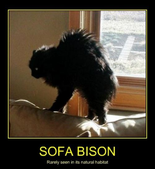 Sofa Bison Cat. cat owners can relate