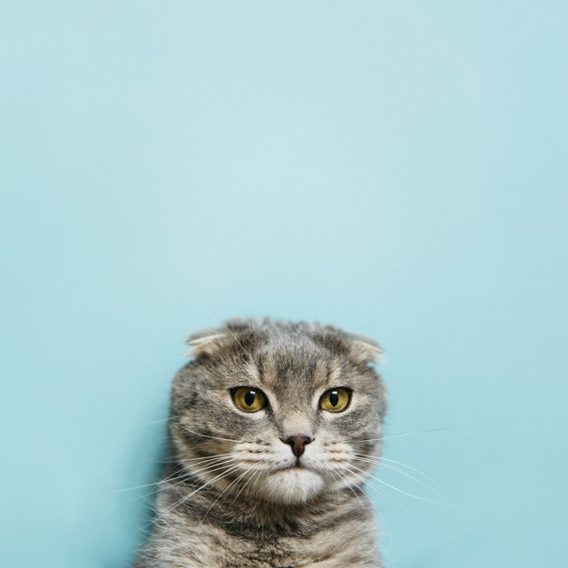 Download Portrait Of Scottish Fold Cat For Free In 2020 Kostenlose Fotos Katzen