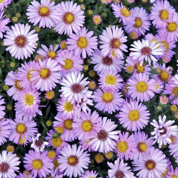 Aster dumosus Marjorie - Aster nain compact à fleurs rose tendre