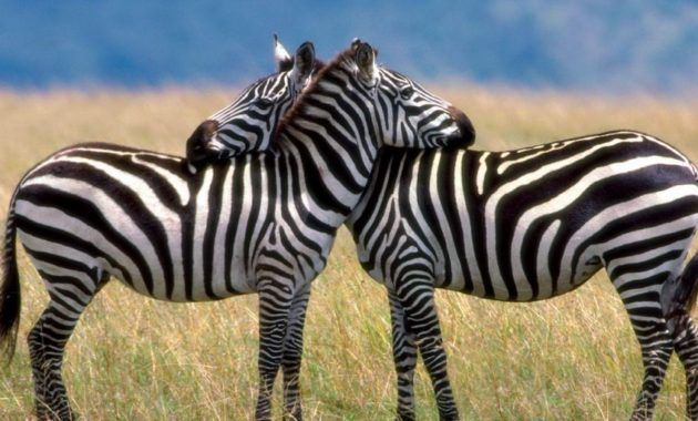 12 Spectacular Animals That Start With The Letter Z Zorse