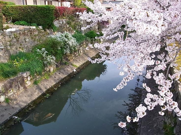 八幡掘と桜(近江八幡市)