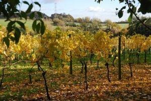 Autumn colour at Oatley Vineyard, Somerset, UK, November 2013. www.oatleyvineyard.co.uk