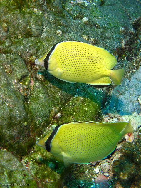 Speckled Butterflyfish (Chaetodon citrinellus); photo by Richard Ling, via Flickr