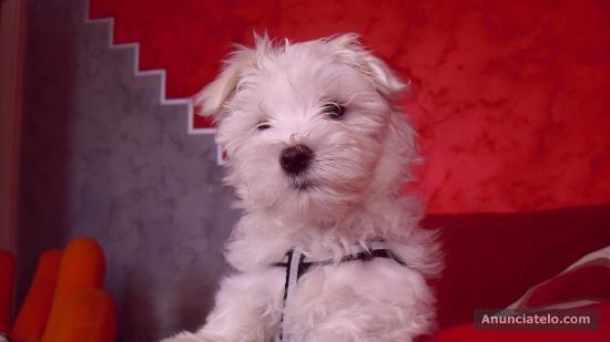Bichon Maltes: origen, cuidados, precio,  perro, características, alimentación, imágenes y vídeos: Consejos Compra Bichón Maltes