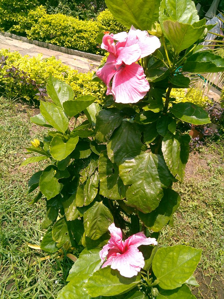 Tulipán doble, que cuido en  recuerdo y memoria de mi Madre, ahora estas en la presencia del Señor y desde allá lo miras.