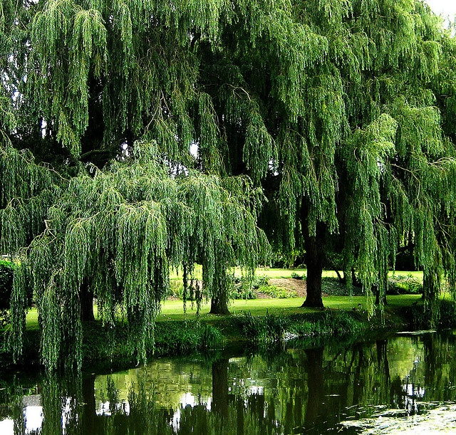 76 best trees weeping willow images on pinterest for Weeping garden trees