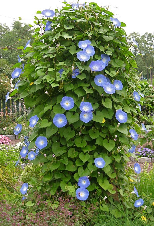 Heavenly Blue Morning Glory In My Current Garden Full Sun Usda All Zones Ahs 12 To 1 Moderate M Blue Morning Glory Morning Glory Flowers Garden Vines