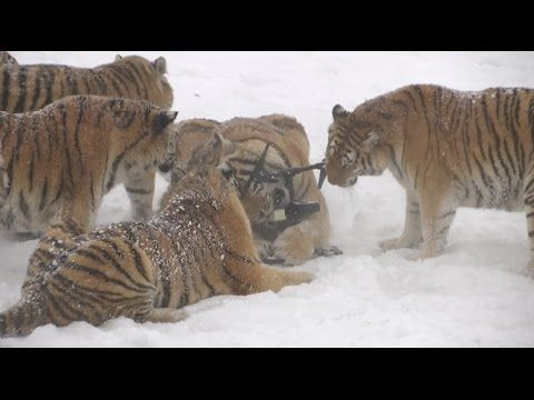 A Group of Siberian Tigers Knock a Low-Flying Drone Out of the Air In the Mistaken Belief It Was Prey