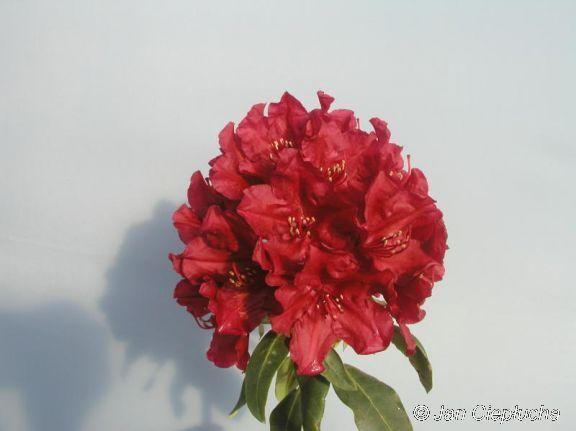 Torero Odmiana o dużych, ciemnoczerwonych kwiatach,