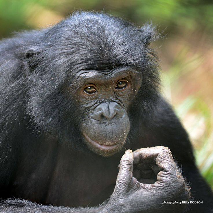 What is the bonobo's biggest threat?   Sadly, it's people. Activities like hunting and deforestation are wiping out bonobo populations faster than these primates can reproduce. Smarter land management and greater community involvement will be key to saving the species.