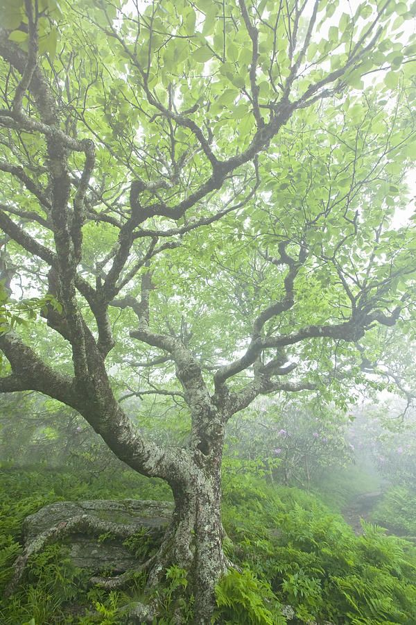 ✯ Gnarly Beech Tree I want to sit under this tree and read a book.........