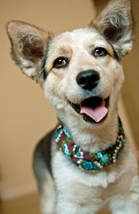 Mila the Corgi Mix -- Dog Breed: Border Collie / Cardigan Welsh Corgi