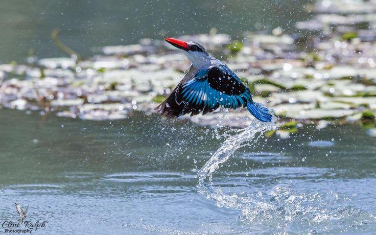 Splash & Dash (Woodland Kingfisher), Loskop Dam, South Africa.