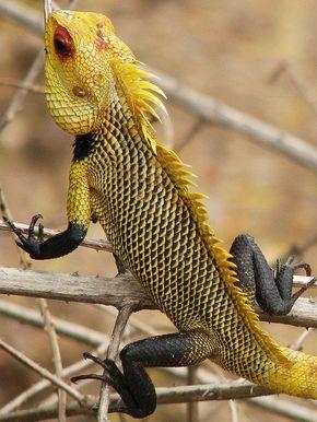 Agamo Lizard, Calote Lizard  a.k.a.   Oriental Garden Lizard
