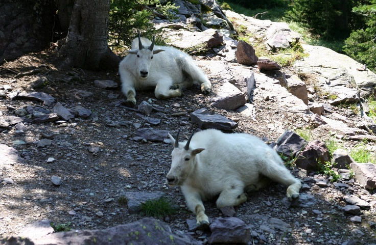 Hanging out with the mountain goats at the Sperry Chalet in Glacier, Montana.