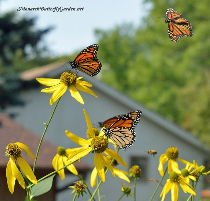 Cutleaf Coneflowers Bloom Mid Late Summer, Which Make Them A Great Nectar  Option For