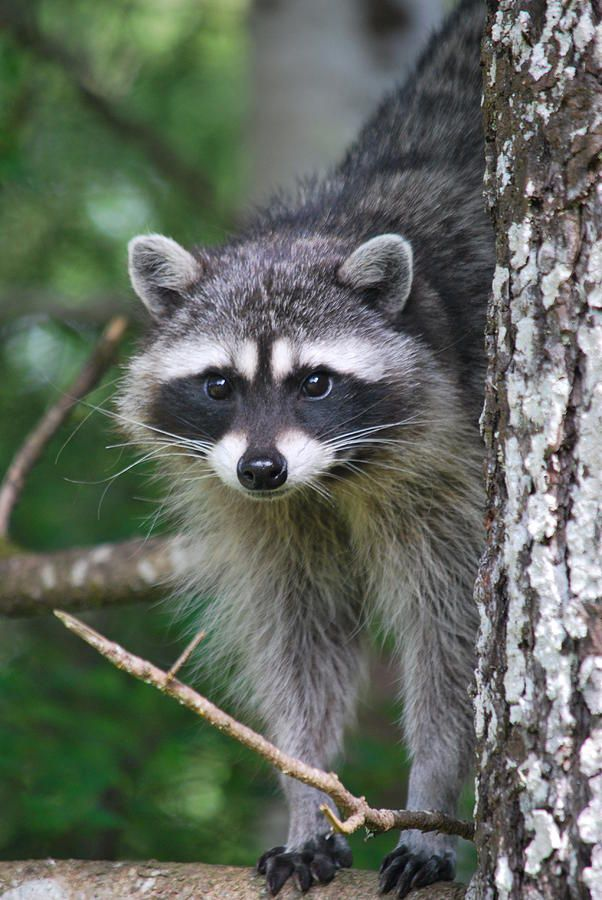 1000 images about raccoons beavers on pinterest hidden for Do raccoons eat fish