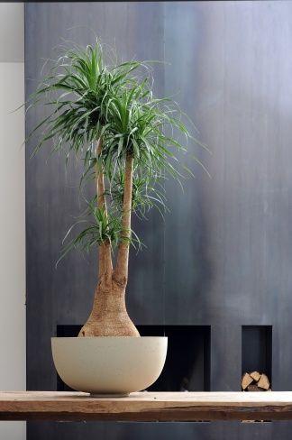 ber ideen zu b ropflanzen auf pinterest. Black Bedroom Furniture Sets. Home Design Ideas