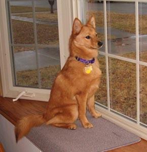 Labrador Retriever/Finnish Spitz Mix Dog for adoption in ...  Finnish Spitz Lab Mix