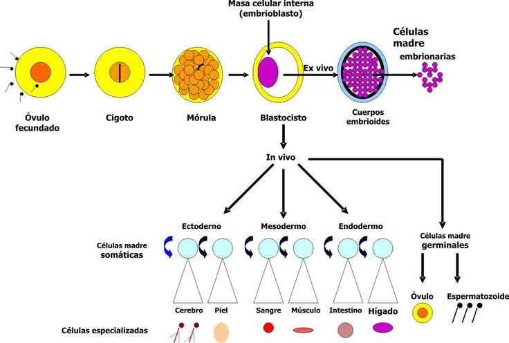 Medicina regenerativa. Células madre embrionarias y adultas