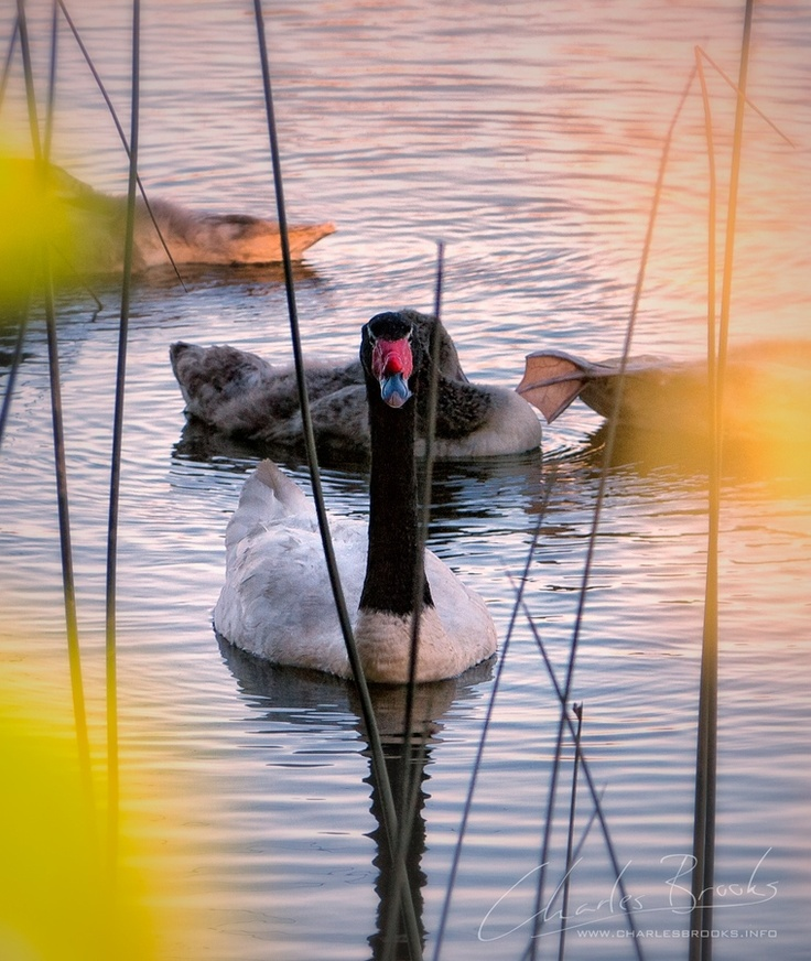 Cisnes de cuello negro Valdivia Chile