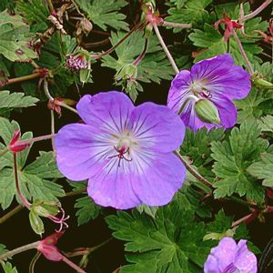 Geranium 'Rozanne' Actually prefers a little afternoon shade in very hot climates but a powerhouse, long blooming perennial. Trim occasionally to shape.