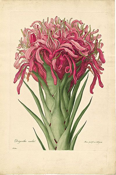 Ferdinand BAUER, Gymea lily. 'Doryanthes excelsa' - Plate 13 from Ferdinand Bauer's Illustrationes Florae Novae Hollandiae, published in London - 1813