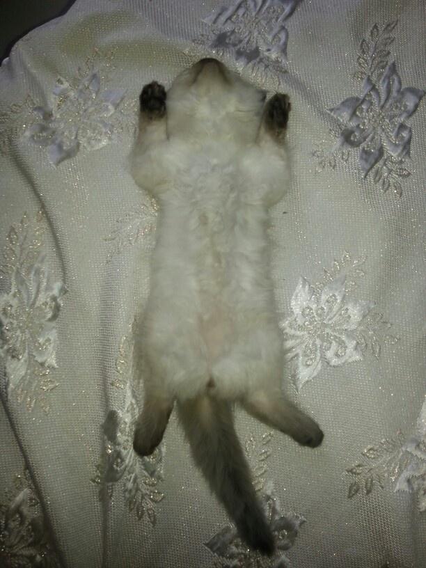 Funny sleeping small ragdoll cat )
