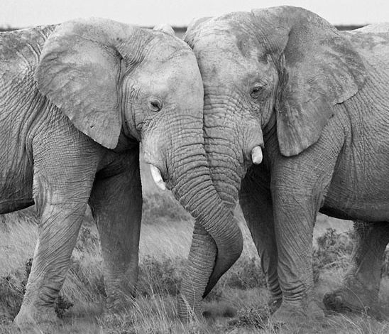 Unity. Nature. The two elephant trunks intertwined indicate unity.