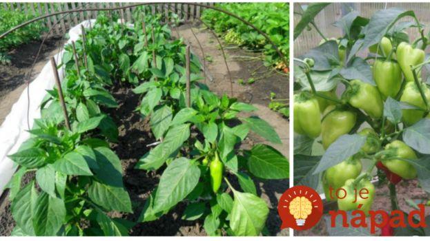 Po presadení do záhrady boli priesady papriky malé a nedarilo sa im: Dal som na radu vedúceho zo záhradkárstva a nakoniec sme mali parádnu úrodu!
