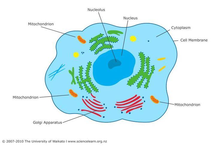 5ac60a1a8a79c9a808d9e52c718b7253 animal cell teaching science check cell diagram data wiring diagram