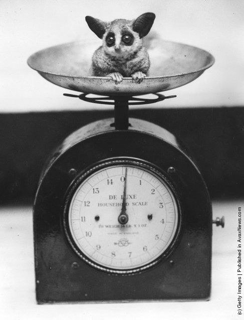 A baby bush-baby in a set of scales at London Zoo shortly after birth. (Photo by Fox Photos/Getty Images). 10th August 1938