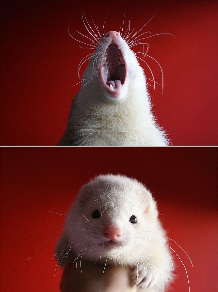 Ferret yawns