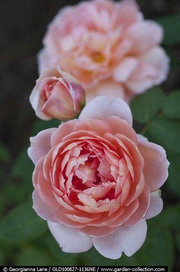 Carding Mill English Rose photograph by Georgianna Lane