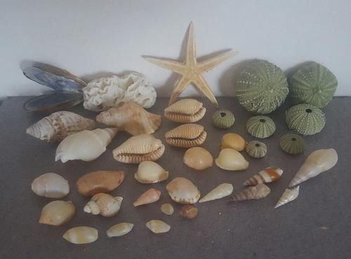 Buy Sea Shells & rare sea shells from Jeffreys Bay (cleaned handpicked) beach, driftwood, fish aqarium for R45.00