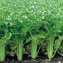 How to Grow Celery - The Homestead Garden *All celery plants dislike hot summers. Sow it in the fall in hot areas or in early spring in cold climates.