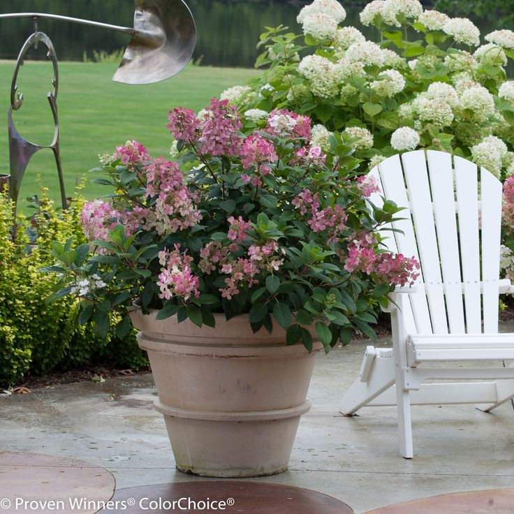 "Little Quick Fire® - Hardy Hydrangea - Hydrangea paniculata 36"" - 60""H - PART SUN TO SUN"