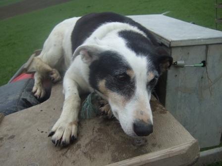 NEW ZEALAND HEADING DOG