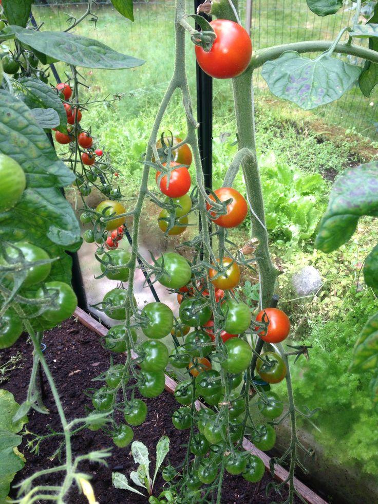 Oman kasvihuoneen tomaatit