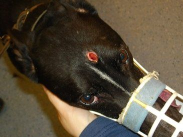 """Petition · .@DefraGovUK: """"BAN THE BOLT"""" ABOLISH THE USE OF THE CAPTIVE BOLT GUN TO DESTROY GREYHOUNDS IN THE UK. · Change.org"""