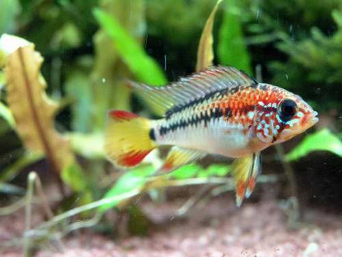 77 best potential fish tank combination 3 images on for Best freshwater aquarium fish combination