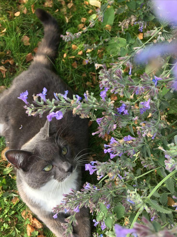 Katternas favorit Kantnepetan