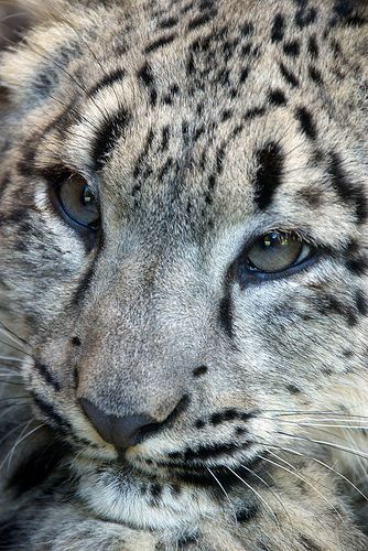 Snow Leopard cub Amazing World beautiful amazing❤️