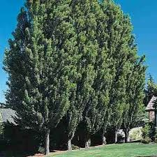 Image result for lombardy poplar