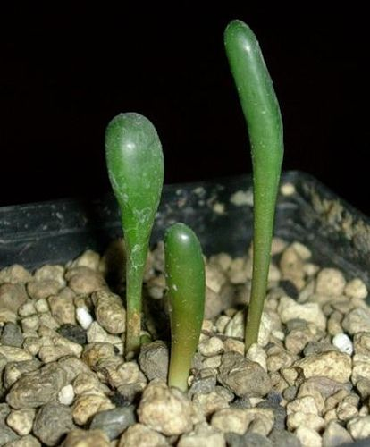 Drimia acarophylla